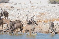 Табун Kudu выпивая от waterhole Okaukuejo Сафари в национальном парке Etosha, величественное назначение живой природы перемещения стоковое изображение rf