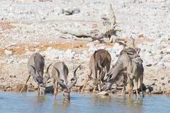 Табун Kudu выпивая от waterhole Okaukuejo Сафари в национальном парке Etosha, величественное назначение живой природы перемещения стоковое фото rf