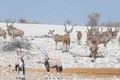 Табун Kudu идя в намибийскую пустыню Сафари в национальном парке Etosha, величественное назначение живой природы перемещения в На Стоковое Изображение RF