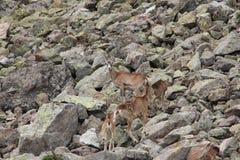 Табун Mouflons в Пиренеи Стоковые Изображения RF