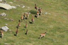 Табун Mouflons в Пиренеи Стоковая Фотография RF