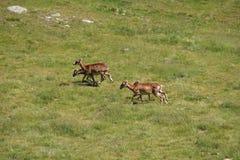 Табун Mouflons в луге Стоковые Фотографии RF