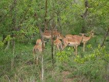 Табун Nyalas в Южной Африке Стоковое Изображение RF