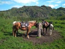 Табун podsednik лошадей для пешего туризма около прицепляя столба ожидает путешественников для похода в горах Altai стоковое фото rf