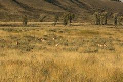 Табун pronghorns, поздним летом, пася в Jackson Hole, Wyomin Стоковые Фотографии RF