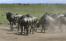 Табун wildebeest стоковые изображения rf