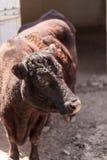 Тавр быка коровы Dexter стоковое фото rf