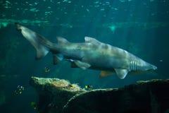 Тавр Carcharias тигровой акулы песка Стоковая Фотография RF
