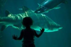 Тавр Carcharias тигровой акулы песка Стоковые Изображения RF
