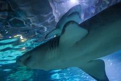 Тавр Carcharias тигровой акулы 2 песков, опасная рыба плавая в специальный танк Стоковые Изображения RF