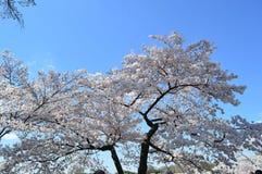 Таз цветеня вишневых деревьев полностью приливный Стоковые Фотографии RF