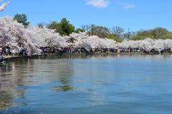 Таз цветеня вишневых деревьев полностью приливный Стоковые Изображения RF