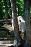 Тайники белой лошади среди деревьев стоковое изображение rf