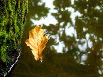 Тайники лист дуба за стволом дерева Стоковые Изображения RF