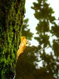Тайники лист дуба за стволом дерева Стоковая Фотография