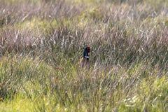 Тайники фазана Стоковые Изображения RF