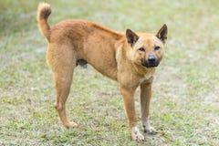 тайская бездомная собака в траве стоковые фотографии rf