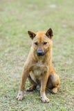 тайская бездомная собака в траве стоковая фотография rf