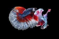 Тайская воюя синь рыб, красный цвет воюя свирепо На изолированной черноте стоковое фото