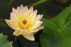 Тайская вода lilly Стоковое фото RF