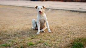 Тайская женская собака Стоковое Изображение RF