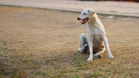 Тайская женская собака Стоковое Фото