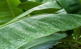 Тайская зеленая предпосылка лист банана стоковые изображения rf