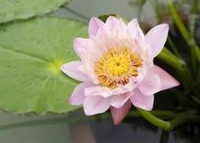 Тайская лилия воды Стоковые Фото