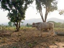 Тайская корова фермы стоковые фото