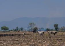 Тайская корова фермы стоковые изображения