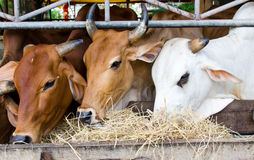 Тайская корова Стоковые Фото