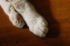 Тайская лапка сиамского кота, коричневый конец лапки кота цвета вверх по съемке стоковые изображения