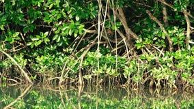 Тайская макака crabeater сидит глубоко в мангровах видеоматериал