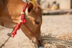 Тайская мужская корова Стоковые Фотографии RF