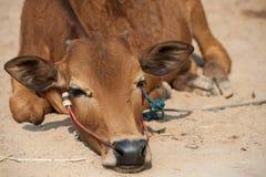 Тайская мужская корова Стоковая Фотография RF