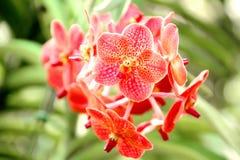 Тайская оранжевая орхидея Стоковое фото RF