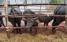 Тайская родная ферма индийского буйвола на к югу от Таиланде Стоковая Фотография
