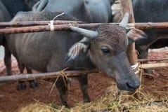 Тайская родная ферма индийского буйвола на к югу от Таиланде Стоковые Фотографии RF