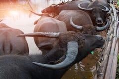 Тайская родная ферма индийского буйвола на к югу от Таиланде Стоковые Изображения RF