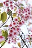 Тайская Сакура стоковое изображение
