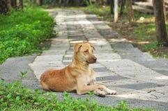 Тайская собака на дорожке стоковые изображения