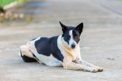 Тайская собака на дороге Стоковые Фото
