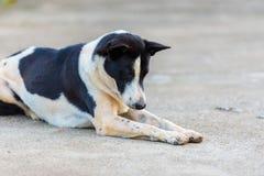 Тайская собака на поле Стоковые Изображения