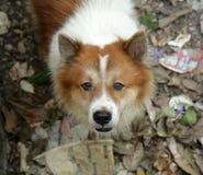Тайская собака челки-kaew, конец-вверх Стоковое Фото