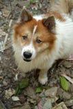Тайская собака челки-kaew, конец-вверх Стоковые Изображения
