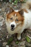 Тайская собака челки-kaew, конец-вверх Стоковые Фото