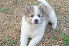 Тайская собака щенка вызвала Bangkaew на саде стоковые изображения rf