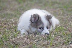 Тайская собака щенка вызвала Bangkaew на саде стоковая фотография rf