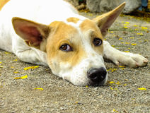 Тайская собака Стоковые Фото