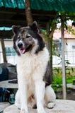 Тайская собака стоковое изображение rf